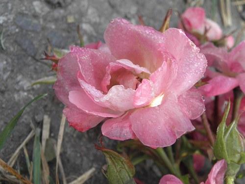 Mám na růžích ustláno