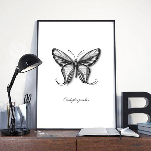 Ornithoptera paradisea reprodukce autorské kresby