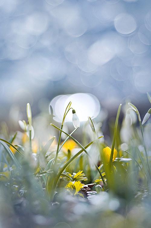 Sněženková