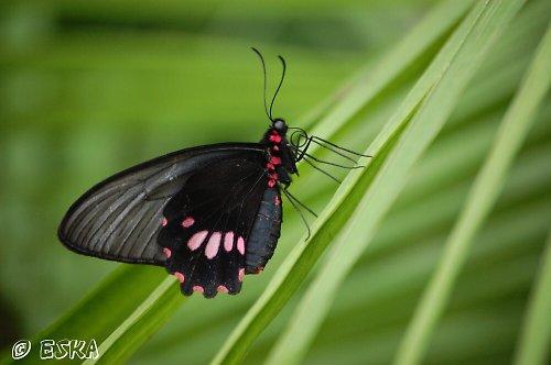 černý motýlek