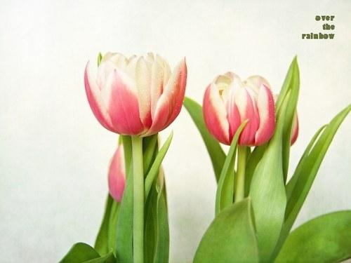 Tulips II-autorská fotografie, Giclée