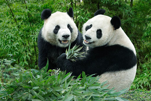 Panda spící bdící
