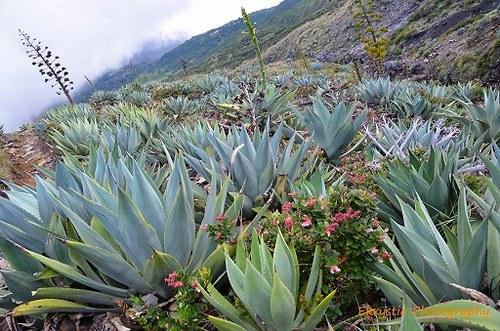 Flora na sopce Santa Ana, El Salvador