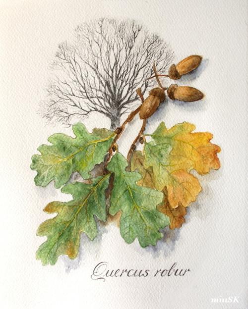 Dub letný - Quercus robur, tlač A4