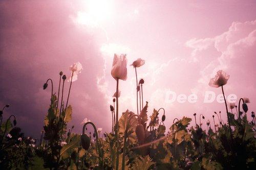 Růžová maková - VÝHODNÁ NABÍDKA!!!