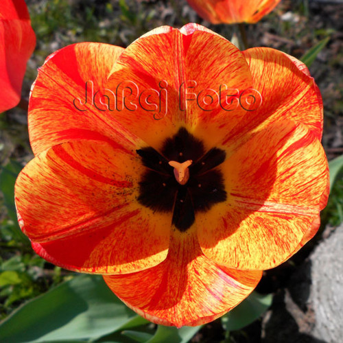 Červenožlutý tulipán