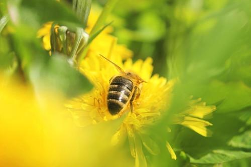 Včelí sluníčka