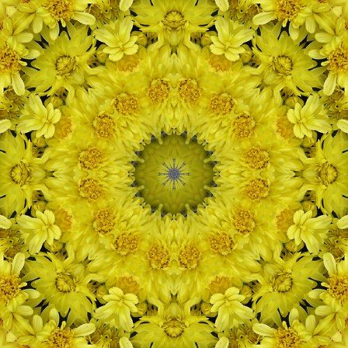 Mandala žlutých chryzantém