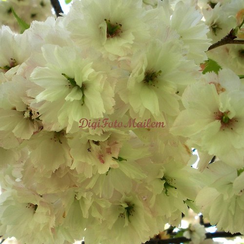 Bile kvetoucí strom
