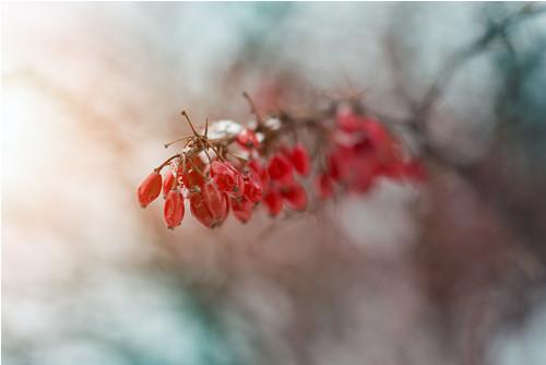 Zimní bobule - fotografie