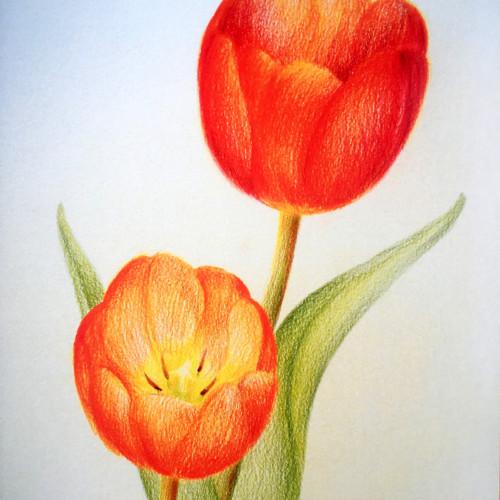 Fanfánci Tulipánci