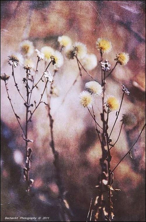 Flores Marchia