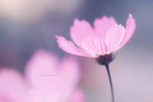 Růžovokvítková