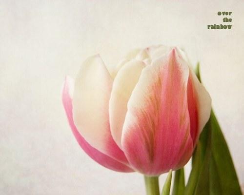 Tulip - autorská fotografie, Giclée