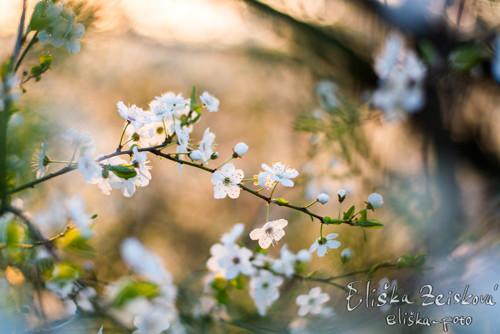 Když kvetou třešně