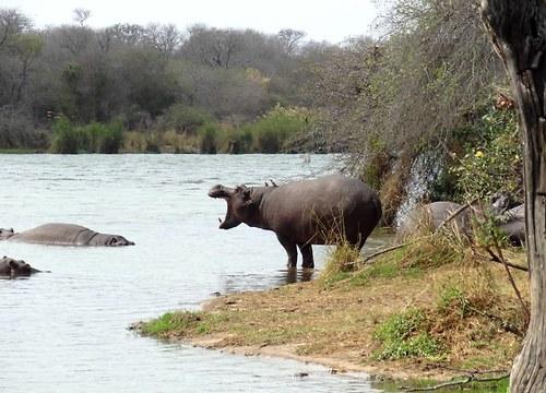 Prof. Hippopotamus přednáší o ekologii ...