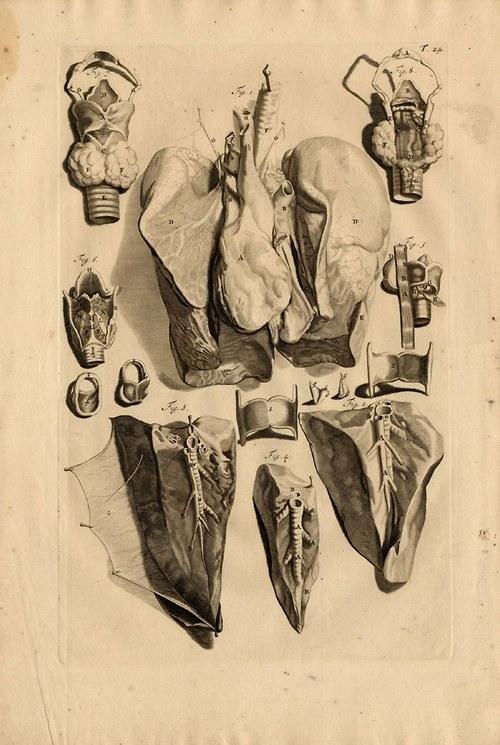 Anatomie ,plíce