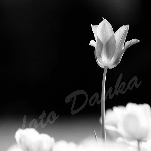 tulipán...