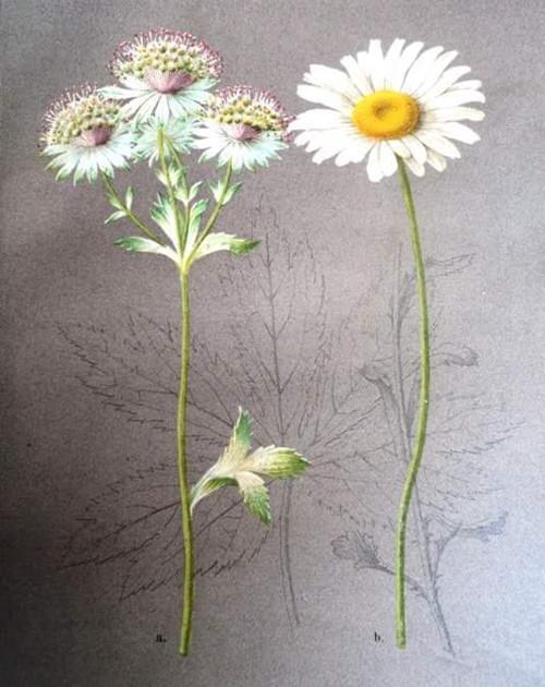 Letni kvety roku 1884 - Kopretina serie