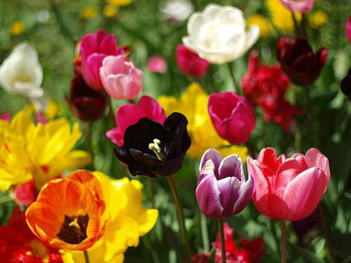 Tulipány III.