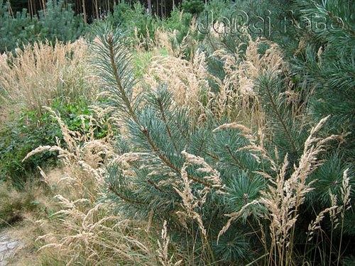 Borovička s trávou
