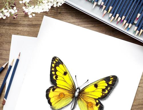 Žluťásek barvoměnný - reprodukce autorské kresby