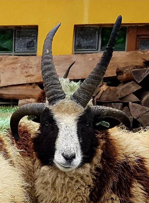 Surová ovčí vlna plemene JACOB - 4 kg