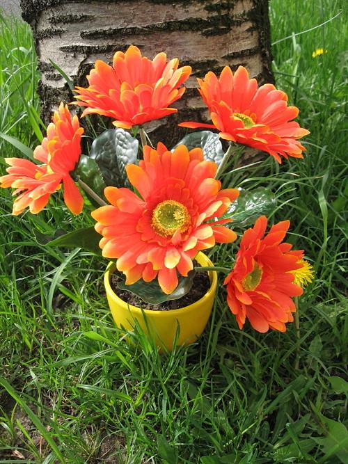 Oranžové gerbery