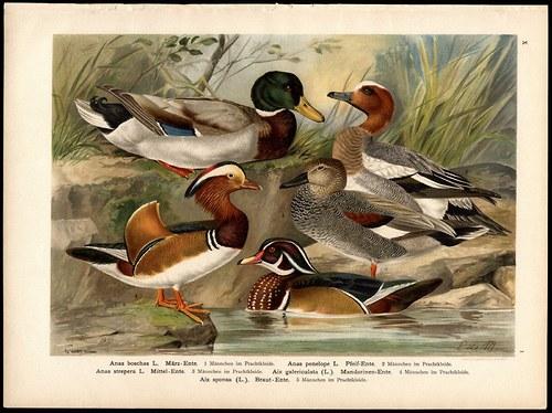 Vodní ptáci - kachny