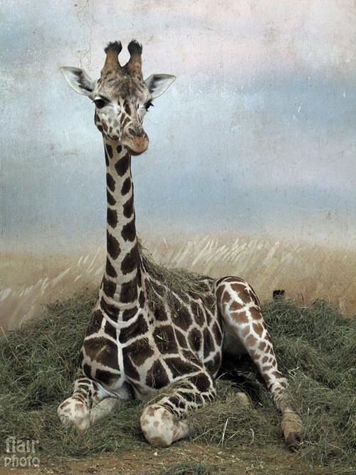 Žirafí model(ka)