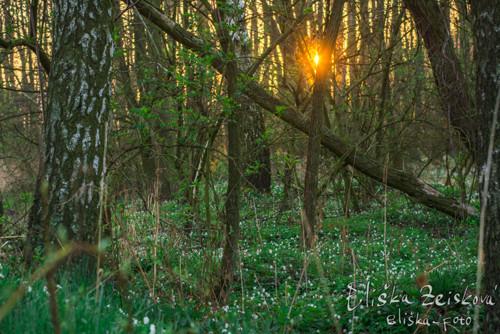 Ráno v sasankovém háji