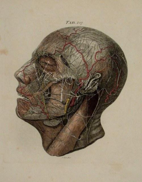 Anatomie, hlava II