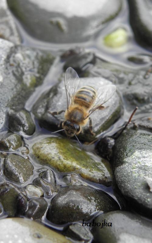 Pijící včela