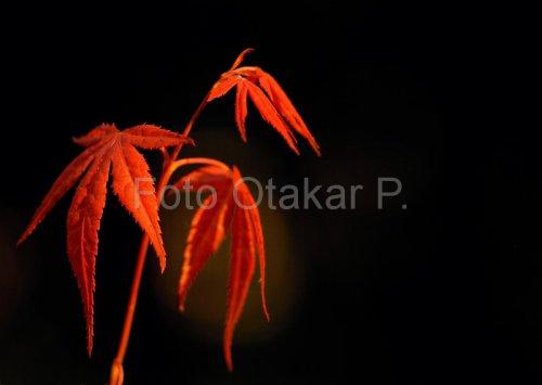 Javor červený