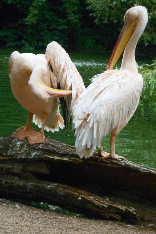 Růžoví pelikáni