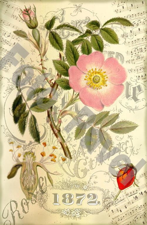 Vintage motiv -  šípková růže