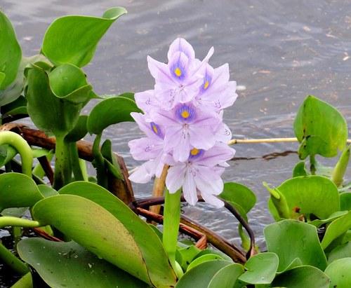 Tokozelka vodní hyacint