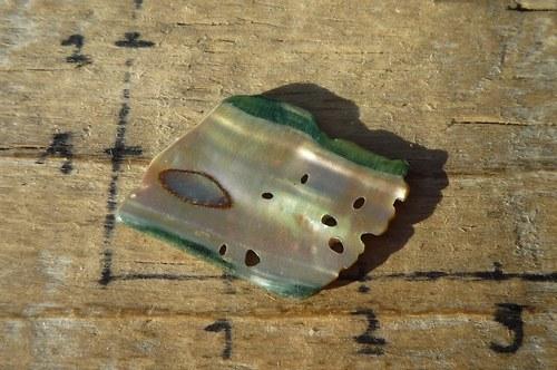 paua mušle    P5219