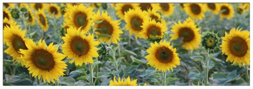 Fotoobraz - slunečnice na plátně 50 x 150 cm