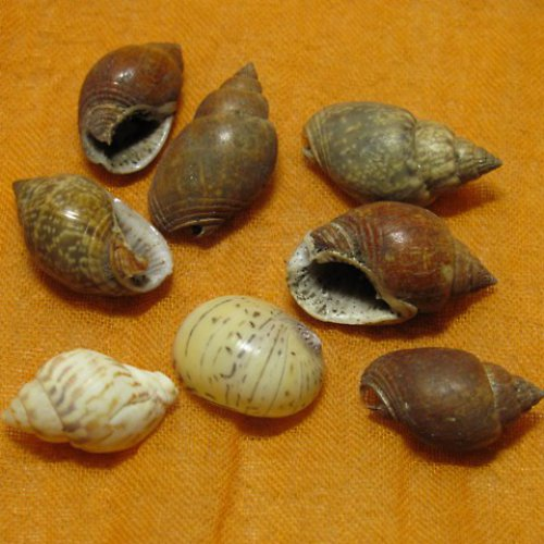 mušličky malé