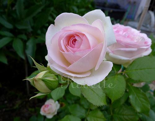 Růže z ráje 2 ...  - autorská fotografie
