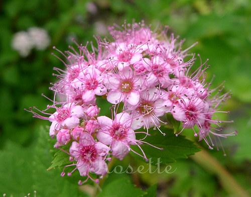 Růžová tykadla ... - autorská fotografie