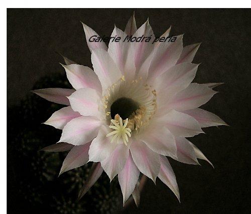 Květ kaktusu II .... 10x11,5