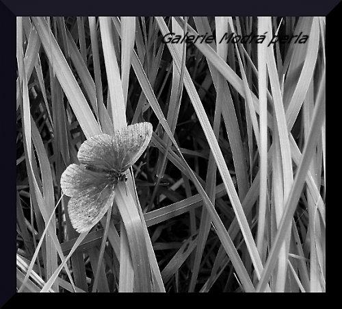 Motýl v trávě - BW - autorská fotografie