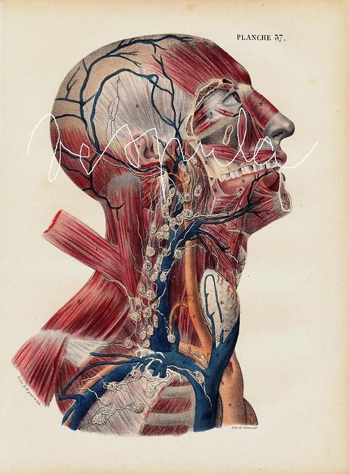 Anatomie II, hlava