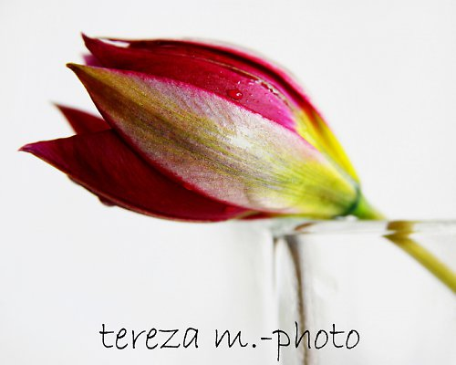 Tulipán-detail