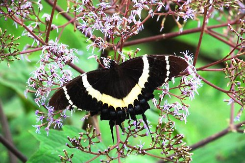 "Papilio ""Magnificent Swallowtail\"""