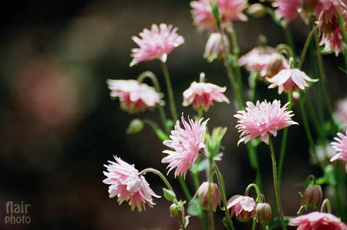 Růžové pábení