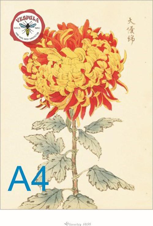 obrázek, květiny chryzantémy