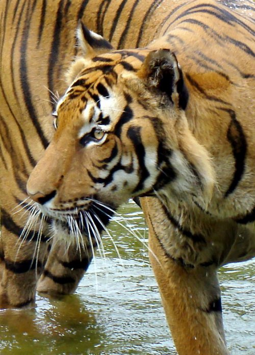 Tygrování